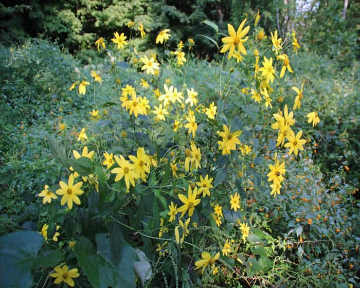 Brodhead flowers